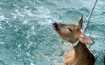 Um pescador se mostrou chocado ao encontrar e resgatar um cervo lutando pela vida cerca 800 metros mar adentro. A pesca bizarra foi registrada na costa deWeymouth, uma cidade do sul de do Reino Unido