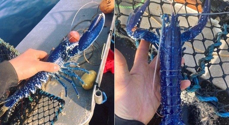 Lagosta azul raríssima foi fisgada por pescador na costa da Cornualha, sudoeste da Inglaterra