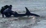 Por sorte, um trio de banhistas imediatamente se dispôs a ajudar o tubarão fominhaLeia mais!Bebê adulto: homem foi demitido de vários empregos por usar fraldas