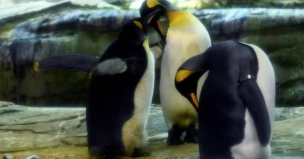 Casal de pinguins machos adota ovo abandonado em zoológico de Berlim