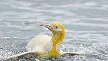 Raro pinguim amarelo é visto pela primeira vez no Atlântico Sul
