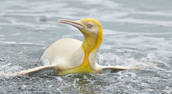 Pinguim amarelo foi visto em ilha do Atlântico Sul