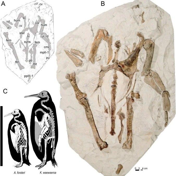 A) Desenho da descoberta; B) Foto do fóssil; C) Comparação entre um Kairuku waewaeroa e um pinguim-imperador