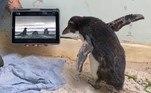 'Oferecemos muitas atividades. Recentemente, compramos um iPad para mostrar a ele outras colônias de Rockhoppers, em zoológicos de todo o mundo', explicou o veterinário
