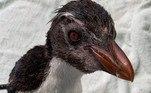 Ele foi encontrado em uma praia ao sul da parte ocidental da Austrália, vindo de ilhas do Oceano Índico ou do sul do Atlântico