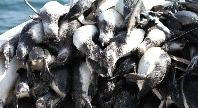 Pinguins encontrados em Florianópolis tinham, provavelmente, menos de um ano