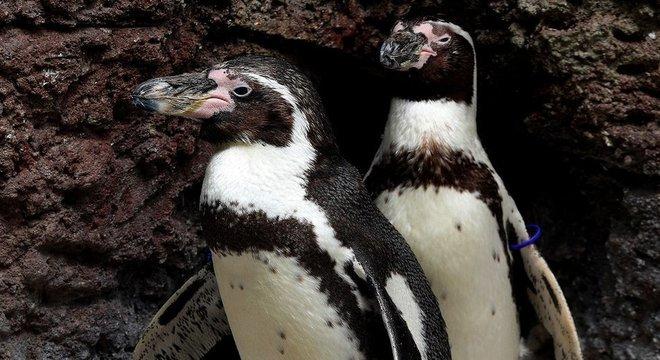 Pinguins-de-humboldt são aves típicas da América do Sul