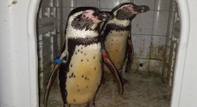 O par de pinguins Humboldt haviam desaparecido em novembro e muitos já haviam perdido a esperança de que fossem encontrados