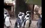 A prática não é inédita entre pinguins: em agosto, oOceanografic Aquarium , em Valência, na Espanha, registrou um roubo do tipo