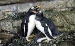 O casal lésbico (na imagem) teve sorte de roubar um ovo fertilizado de pinguim e conseguiu ter um filhoteNa Austrália, um pinguim está diminuindo a solidão assistindo episódios de de