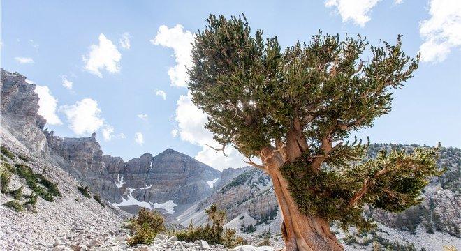 Pinheiro bristlecone na Grande Bacia, no oeste dos Estados Unidos