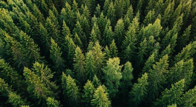 Espécies de árvores coníferas, como os pinheiros, absorvem mais radiação e contribuem para aquecimento global, aponta estudo