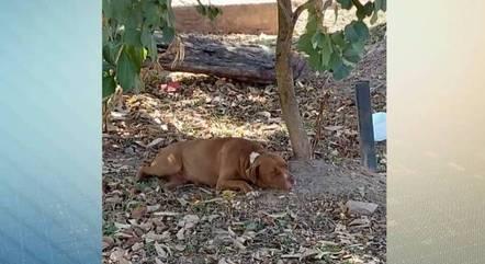 Pitbull foi encontrado amarrado em uma árvore