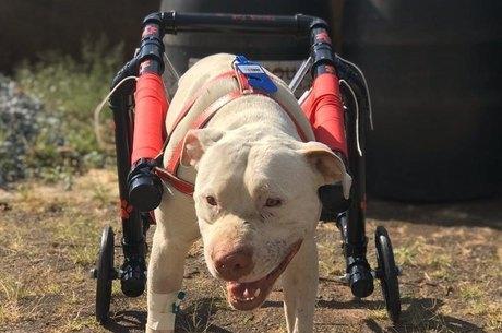 Sansão teve as patas mutiladas e se recupera bem