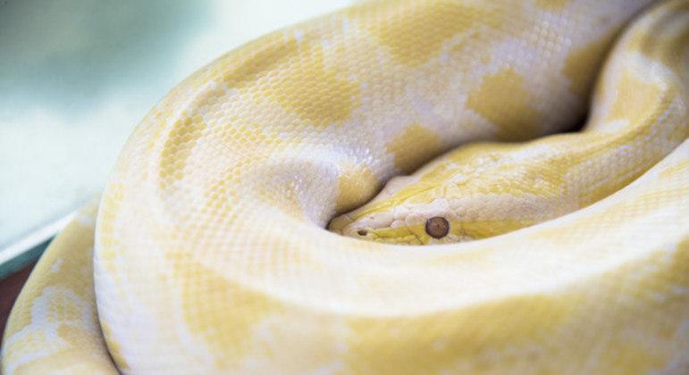 Animal foi identificado como pertencente à espécie píton