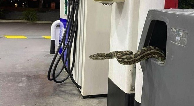 Píton-carpete teve que ser removida de lixeira em posto de gasolina na Austrália