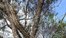 Camuflou mal! Píton graúda é vista em árvore no quintal de casa