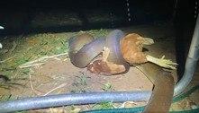 Píton invade quintal e estrangula galinha embaixo de cama elástica