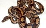 A serpente é uma das duas pítons-reais do Zoológico de St. Louis, no Missouri (EUA).A outra é um macho de 31 anos que, apesar de viver no mesmo herpetário, ocupa espaço distinto da mamãe sexagenária