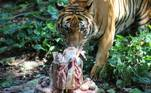 O tigre malaio Wira ganha um bolo de carne durante as comemorações do segundo aniversário dele, no National Zoo, em Kuala Lumpur, MalásiaVEJA ISSO:Trilhões de cigarras sairão da terra após 17 anos e cantarão muito alto