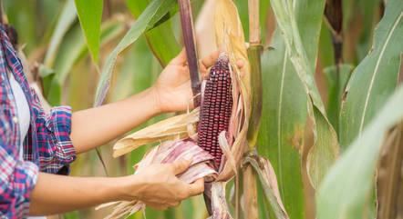 Safra de milho foi prejudicada pela falta de chuvas