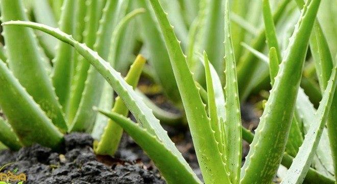 plantas que auxiliam o sono