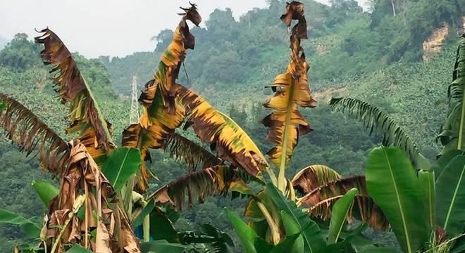 Quando a banana está infectada pelo fundo que causa o mal do Panamá, as folhas ficam amareladas, murcham, e as plantas morrem Testes nas Filipinas
