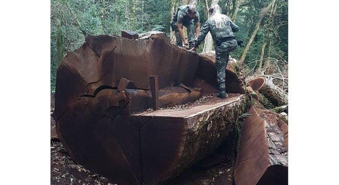 'É um problema cultural do nosso país, onde as pessoas não sabem o valor de uma árvore', diz especialista sobre derrubada de imbuia, espécie que é símbolo de Santa Catarina