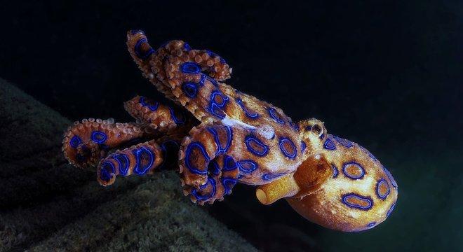 O polvo-de-anéis-azuis tem veneno letal para humanos