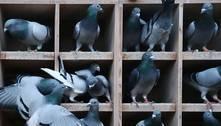 Mistério total: milhares de pombos desapareceram durante corridas