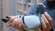 Autoridades querem matar pombo que voou dos EUA até a Austrália