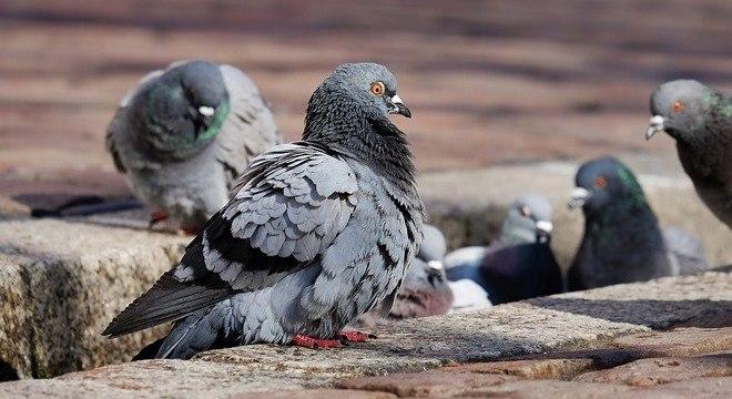 Fezes de pombos podem conter fungos que provocam a doença criptococose