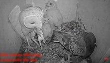 A incrível saga das pombas que botaram ovos em ninhos de corujas