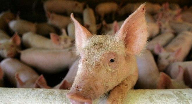 Dejetos de suínos são matéria-prima para a produção de biogás