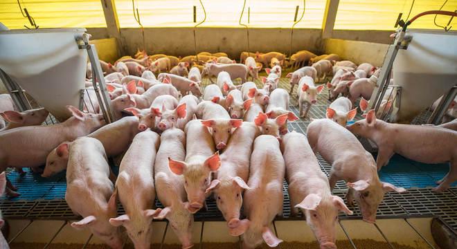 O empresário decidiu dobrar o plantel para 7 mil suínos