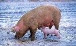 Em outro caso, de 2013, um chefe mafioso serviu de alimentos para os porcos de um chefe rival