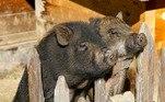 Em 2019, uma fazendeira russa acabou morta por porcos após ter um ataque epiléptico enquanto alimentava os animais