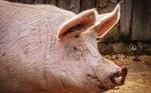 Em 2012, por exemplo,Terry Vance Garner, um fazendeiro de 69 anos do Oregon (EUA), foi devorado por seus próprios porcos