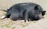 A sabedoria popular não deixa dúvidas: um porco é capaz de devorar um corpo inteiro e criminosos até utilizam tais animais para não deixar pistas de homicídios. Existe até um filme sobre isso —Snatch - Porcos e Diamantes(2001). Mas essa afirmação é real? Segundo especialistas, quase!