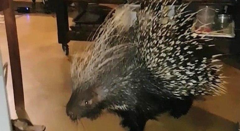 Ele se chama Spiley, pesa 20 kg e tentou fugir