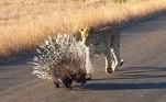 Em um vídeo registrado nofamoso Parque Nacional Kruger, na África do Sul, é possível ver que o felino só se convenceu quando ficou machucado após dar várias patadas nos espinhos do roedorVEJA AQUI O CONTEÚDO NA ÍNTEGRA!