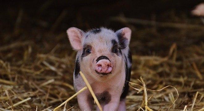 Porcos poderão ser os próximos doadores de órgãos para seres humanos