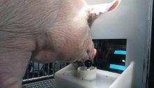 Porcos surpreendem ao jogar videogame em estudo
