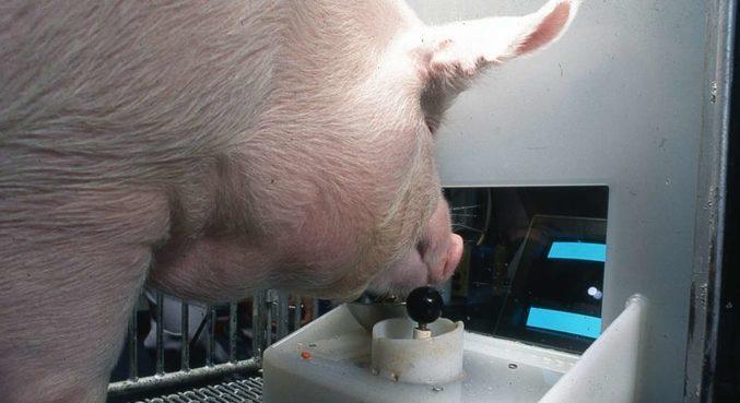 Pesquisa mostrou que porcos podem aprender a jogar videogames simples