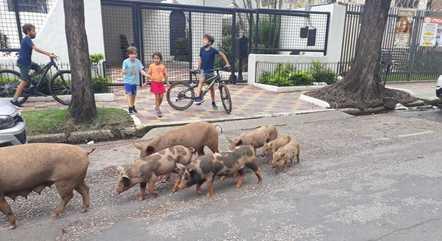 Ao menos nove porcos foram visto no São Bento