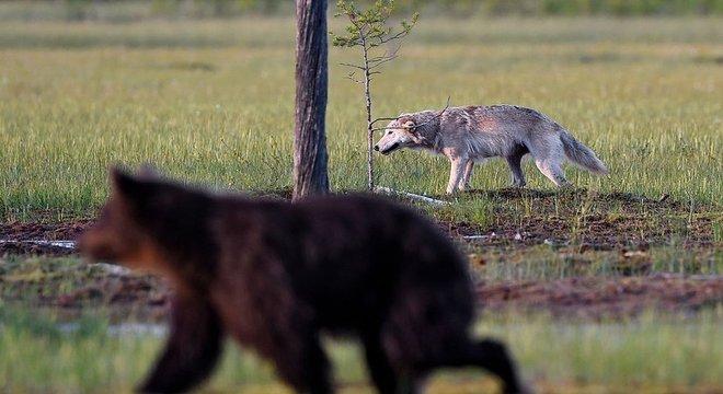 Às vezes, quando os predadores tentam determinar qual presa atacar, os números não batem