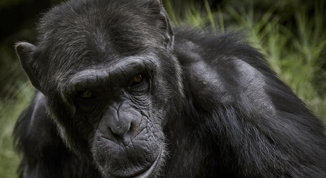 Primatas de santuário em Camarões correm risco