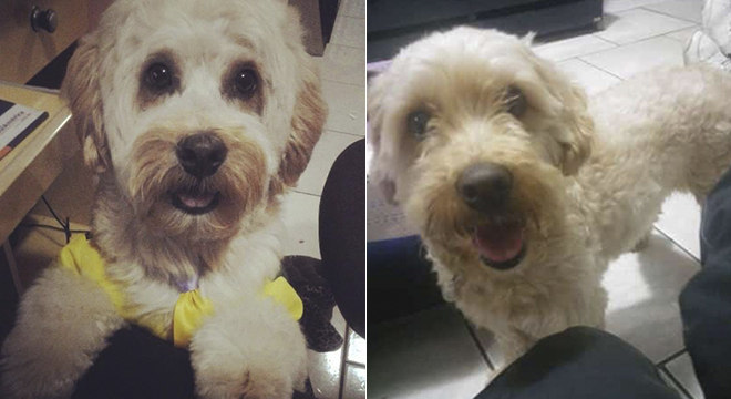 Marley é um poodle que está desaparecido em Guianazes (SP)
