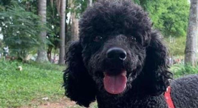 Bob é um poodle desaparecido na região da Brasilândia, em São Paulo