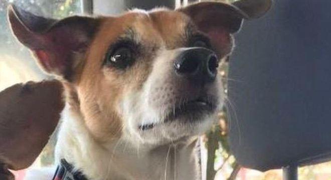 Raul é um vira-lata macho desaparecido em Analândia (SP)